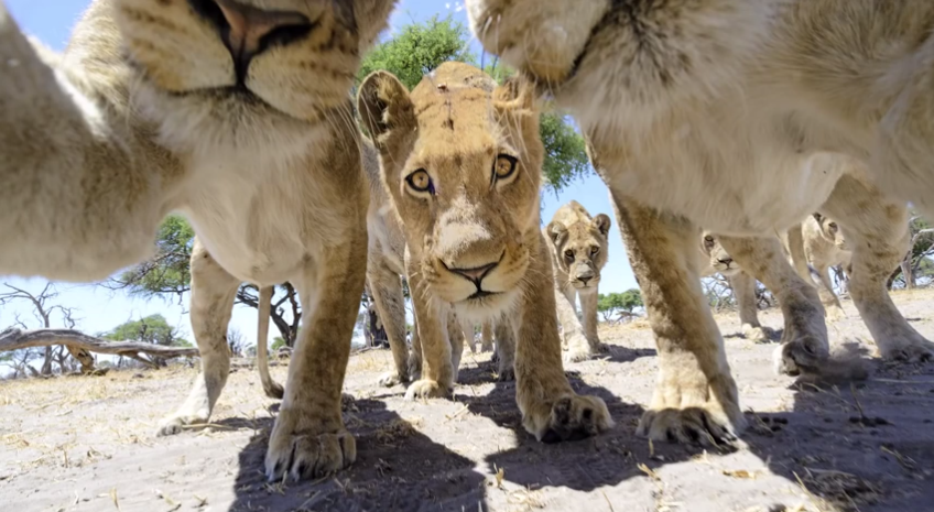 Wildlife Photographer Uses RC Car To Capture Unbelievable Images Of African Lions